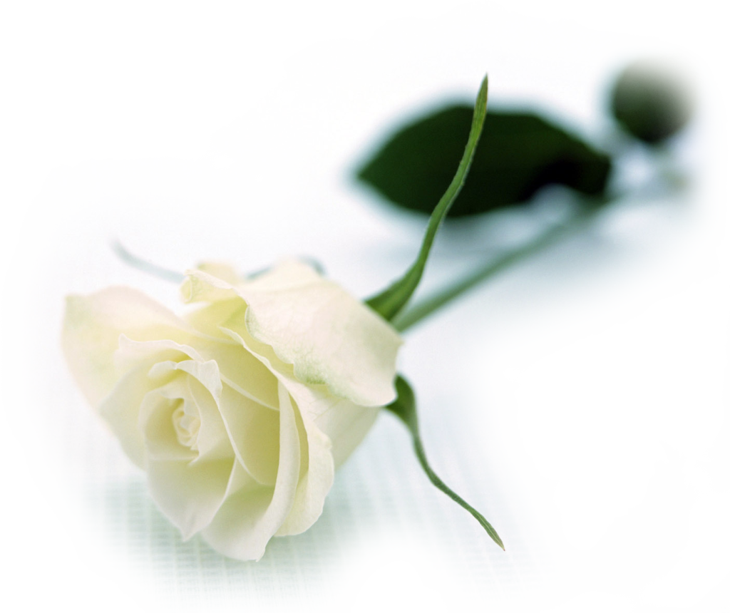white roses flowers wallpapers (10)2